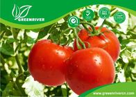 Best Bright red Hybrid tomato seeds with cracking resistance , ISO9001-2008